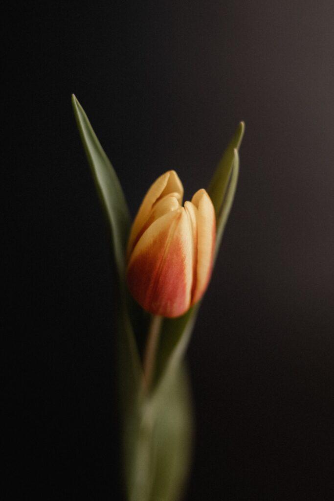 flower tulip